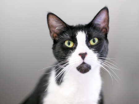 A black and white Tuxedo shorthair cat with black markings on its nose and chin