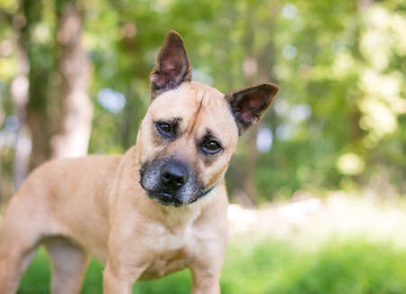A Terrier mixed breed dog with pointed ears, listening with a head tilt Stock fotó