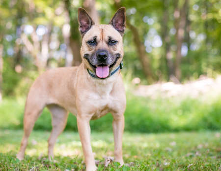 A Terrier mixed breed dog with pointed ears and a happy expression standing outdoors