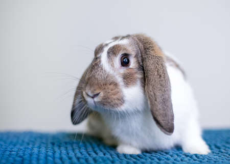 A brown and white Lop eared pet rabbit sitting on a blue blanket Stock fotó