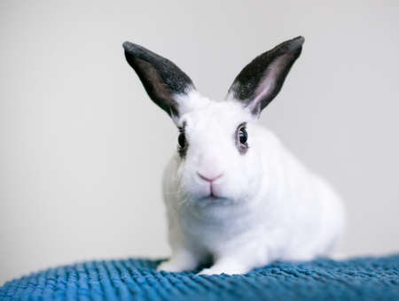 A small black and white Rex mixed breed pet rabbit sitting on a blue blanket