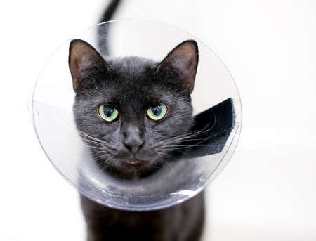 A black shorthair cat with green eyes and dilated pupils, wearing a protective cone collar after surgery