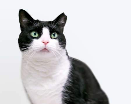 A black and white Tuxedo cat with its left ear tipped, indicating that is has been spayed or neutered and vaccinated