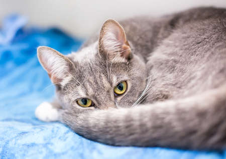 A gray tabby shorthair cat curled up on a blue blanket