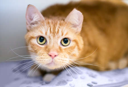 An orange tabby shorthair cat with its left ear tipped, indicating that it has been spayed or neutered