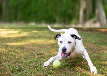 A black and white American Bulldog mixed breed dog playing with a ball outdoors