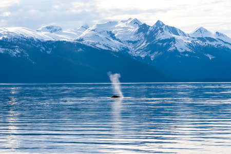The blow of a Humpback Whale (Megaptera novaeangliae) surfacing off the coast of Alaska with snow-capped mountains in the background