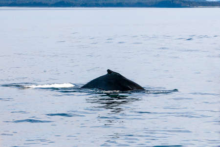 Dorsal fin of a Humpback whale (Megaptera novaeangliae) surfacing in the waters of southern Alaska