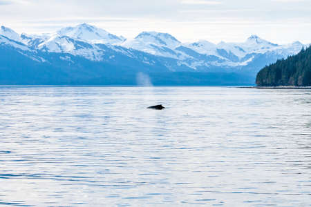 Humpback Whale (Megaptera novaeangliae) surfacing off the coast of Alaska with snow-capped mountains in the background Stock fotó