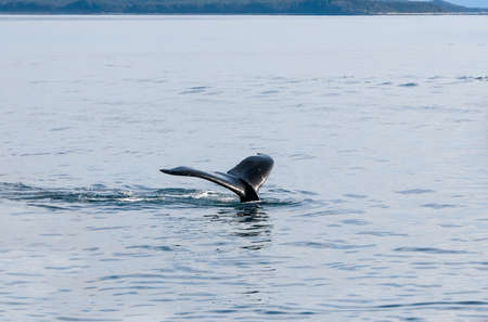 The fluke or tail of a Humpback whale (Megaptera novaeangliae) as it dives in the waters of southern Alaska Stock fotó