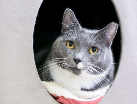 A gray and white shorthair cat with its left ear tipped, relaxing in a covered pet bed 版權商用圖片