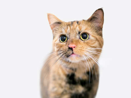 A young Tortoiseshell tabby shorthair cat with large dilated pupils and black and white whiskers