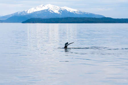 The fluke or tail of a Humpback whale (Megaptera novaeangliae) as it dives in the waters of southern Alaska, with snow-capped mountains in the background