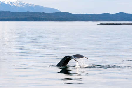 The fluke or tail of a Humpback whale (Megaptera novaeangliae) as it dives in the waters of southern Alaska 版權商用圖片