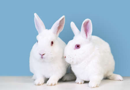 A pair of white Dwarf mixed breed pet rabbits with pink eyes sitting together