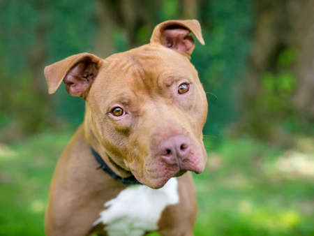 A red and white Pit Bull Terrier mixed breed dog listening with a head tilt