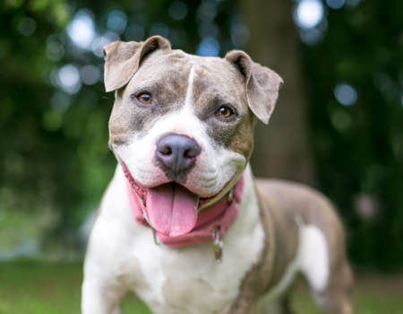 A happy gray and white Staffordshire Bull Terrier mixed breed dog panting 版權商用圖片