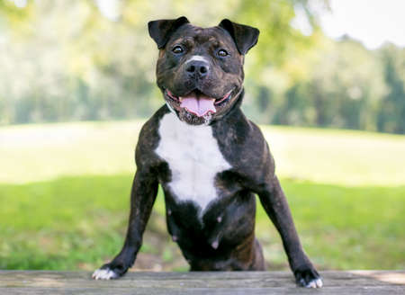 A happy brindle and white Staffordshire Bull Terrier mixed breed dog standing up with its front paws on a bench