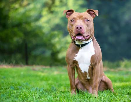 A red and white Pit Bull Terrier mixed breed dog sitting outdoors 版權商用圖片