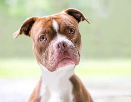 A red and white Boxer x Pit Bull Terrier mixed breed dog looking at the camera with a head tilt 版權商用圖片