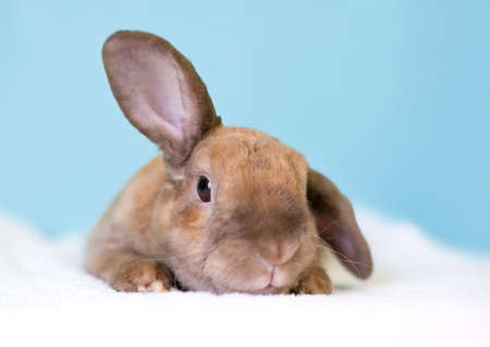 A cute brown Lop eared rabbit holding one ear up and one ear down 版權商用圖片