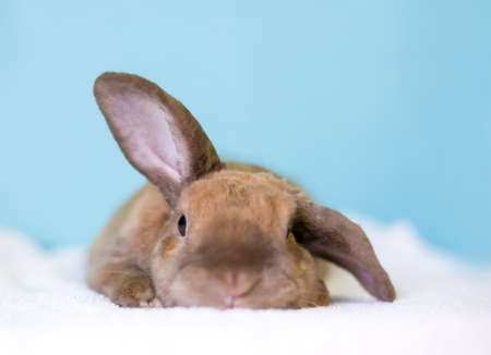 A cute brown Lop eared rabbit holding one ear up and one ear down