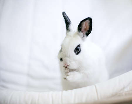A cute black and white Dwarf rabbit grooming itself and washing its face