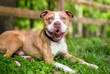 A red and white Pit Bull Terrier mixed breed dog with sectoral heterochromia in its eyes, lying in the grass