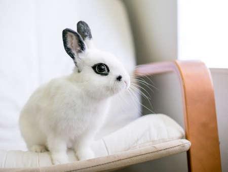 A cute black and white Dwarf rabbit sitting on a chair cushion