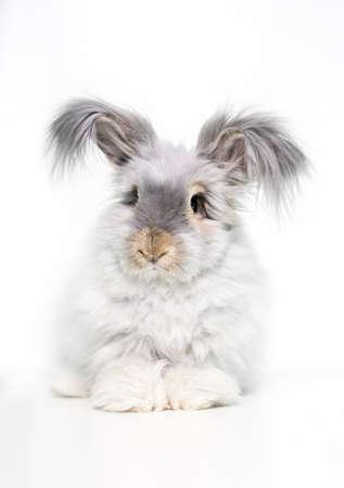 A furry English Angora rabbit with long hair on its ears
