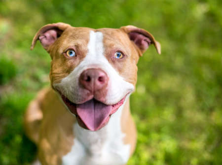 A red and white Pit Bull Terrier mixed breed dog with sectoral heterochromia in its eyes