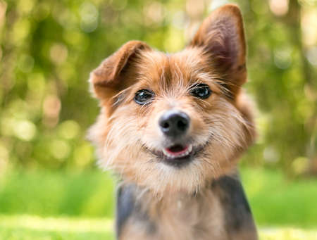 A cute scruffy mixed breed dog with one straight ear and one folded ear