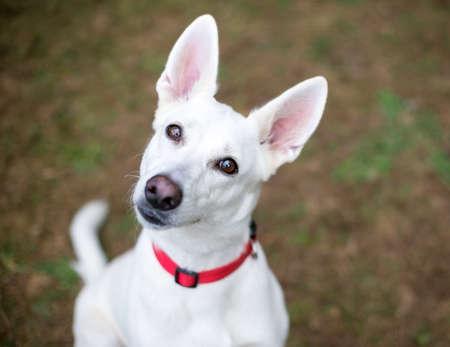 A white Shepherd dog listening with a head tilt 版權商用圖片