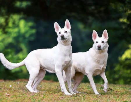 Two white Shepherd dogs standing outdoors together
