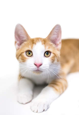 A cute shorthair kitten with orange tabby and white markings, lying down and looking at the camera
