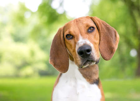 An American Foxhound dog with large floppy ears looking at the camera with a head tilt