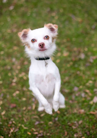 A Chihuahua mixed breed dog standing up on its hind legs and begging 版權商用圖片