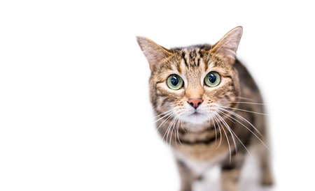 A brown tabby shorthair cat staring with large green eyes and dilated pupils 版權商用圖片