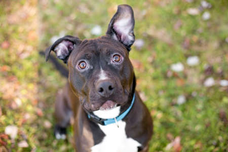 A black and white Pit Bull Terrier mixed breed dog with large floppy ears and wearing a blue collar