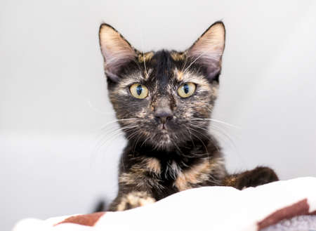 Low angle view of a Tortoiseshell shorthair cat lying on a blanket and looking down at the camera