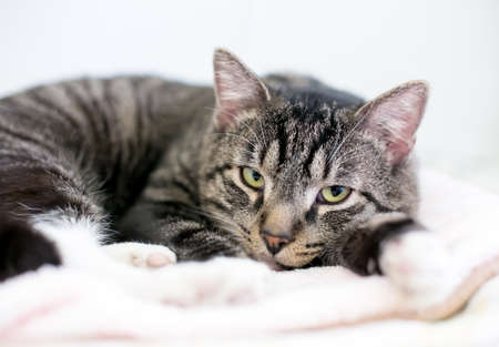 A lazy brown tabby shorthair cat lying down on a blanket and looking at the camera