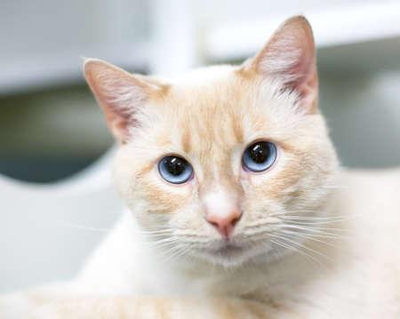 A buff tabby shorthair cat with blue eyes and dilated pupils 版權商用圖片