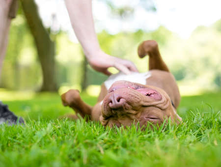 A red and white Pit Bull Terrier mixed breed dog lying upside down in the grass as a person rubs its belly