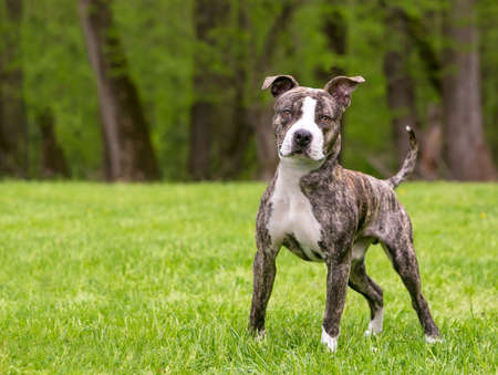 A brindle and white Pit Bull Terrier mixed breed dog standing outdoors 版權商用圖片
