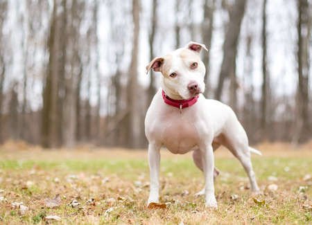 A Pit Bull Terrier mixed breed dog wearing a collar and looking at the camera with a head tilt