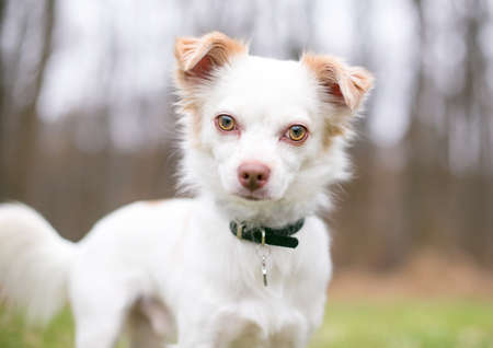 A Chihuahua mixed breed dog wearing a collar and tag, looking at the camera with a head tilt