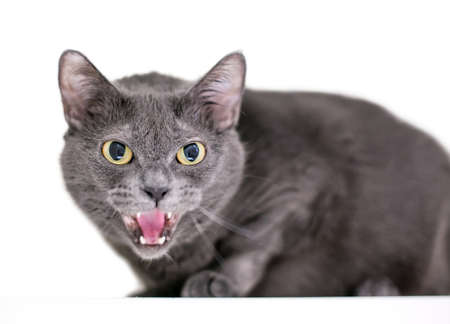 An angry grey shorthair cat hissing