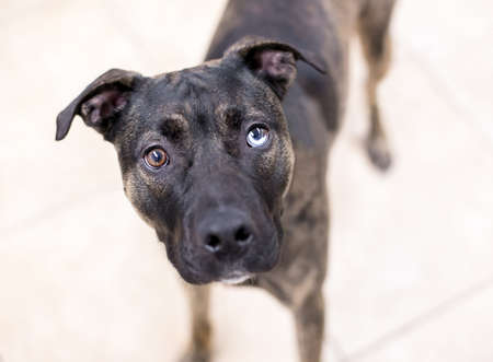 A brindle Pit Bull Terrier mixed breed dog with sectoral heterochromia, one blue eye and one brown eye