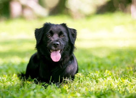 A black Flat-Coated Retriever mixed breed dog lying down in the grass with a happy expression 版權商用圖片