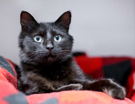 A black shorthair cat with an alert expression and dilated pupils lying in a cat bed 版權商用圖片